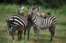 Grant's Zebra, Equus Burchelli...