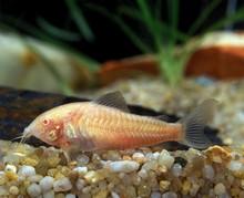 Peppered Cory, Corydoras Paleatus, Albino Fish