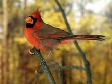 Northern Cardinal, Cardinalis Cardinalis, Male Standing On Branch