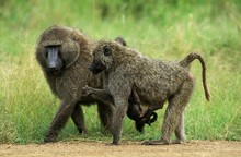 Olive Baboon, Papio Anubis, Male And Female Carrying Young, Masai Mara Park In Kenya