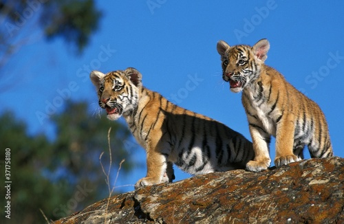 Obraz na plátně Bengal Tiger, panthera tigris tigris, cub standing on Rock