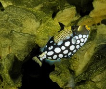 Clown Tiggerfish, Balistoides ...