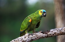 Blue-Fronted Amazon Parrot Or Turquoise-Fronted Amazon Parrot, Amazona Aestiva, Adult Standing On Branch, Pantanal In Brazil