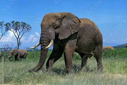 Foto African Elephant, loxodonta africana, Masai Mara Park in Kenya