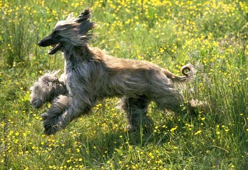 Afghan Hound, Adult running through Flowers Canvas Print