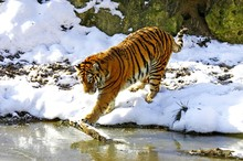 Siberian Tiger, Panthera Tigris Altaica Standing On Snow, Entering Water
