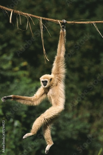 Fototapeta White-Handed Gibbon, hylobates lar, Moving, hanging from Liana