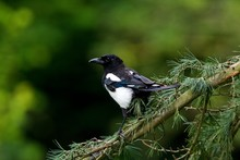 Black Billed Magpie Or European Magpie, Pica Pica, Adult Standing On Branch, Normandy