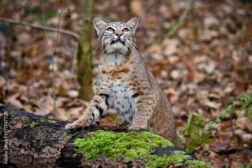Foto European Lynx, felis lynx