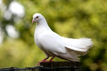 White Fantail Pigeon, Normandy