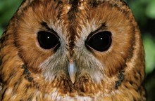 Eurasian Tawny Owl, Strix Aluc...