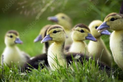 Muskovy Duck, cairina moschata, Mother and Ducklings Wallpaper Mural