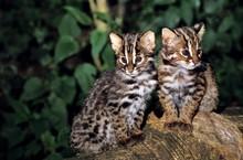 Amur Leopard Cat Or Siberian L...