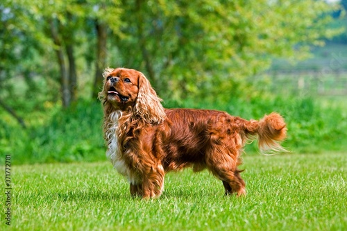 Cavalier King Charles Spaniel, Male Dog standing on Lawn Canvas Print