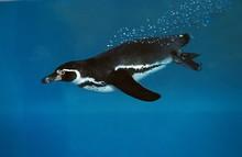 Humboldt Penguin, Spheniscus Humboldti Swimming