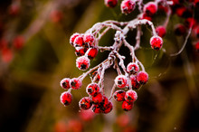 Frosty Red Berries