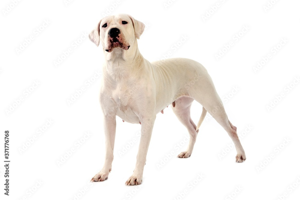 Fototapeta Argentinian Mastiff Dog against White Background