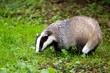 European Badger, meles meles, Normandy