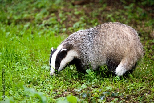 Fototapeta European Badger, meles meles, Normandy obraz