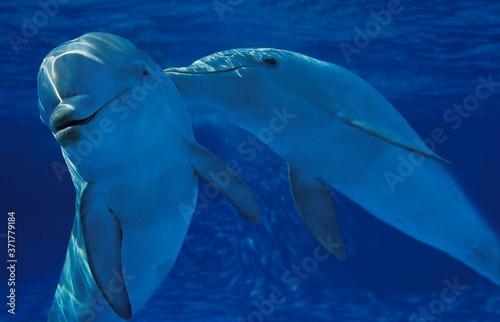 Photo Bottlenose Dolphin, tursiops truncatus