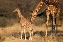 Reticulated Giraffe, Giraffa Camelopardalis Reticulata, Mother And Calf, Samburu Park In Kenya