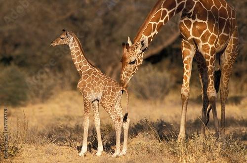 Tela Reticulated Giraffe, giraffa camelopardalis reticulata, Mother and Calf, Samburu