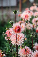 Dahlias In The Garden On A Large Green Bush. Delicate Pink Buds. Growing Flowers.
