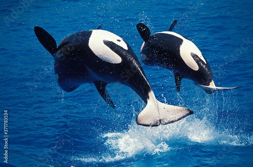 Killer Whale, orcinus orca, Mother and Calf breaching Wallpaper Mural