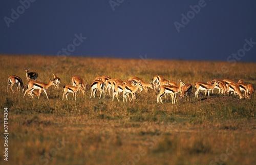 Thomson's Gazelle, gazella thomsoni, Troupeau dans la Savane, Masai Mara Park in Canvas