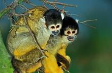 Squirrel Monkey, Saimiri Sciur...
