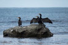 Cormorants On The Rock