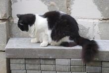 Luffy Black And White Cat  ,luffy Black And White Cat