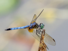Close Uo Of A Single Blue Dasher Dragonfly (Pachydiplax Longipnnis, With A Plain Background