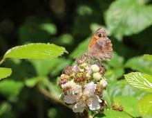 Butterfly On A  Bramble Flower