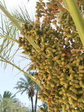 Ripening Fruits On Trees Of Da...