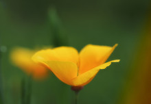 Extreme Close-up Of A Yellow Iceland Poppy On A Multicolor Background