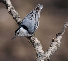 Close-up Portrait Of A Nuthatc...