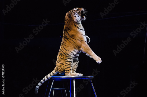 Fotografia Tiger performs tricks in the circus arena
