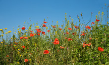 Wildflower Meadow With Red Poppy And Rapeseed Against Blue Sky