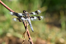 Blue Tailed Dragonfly 04