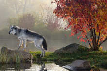 Backlit Gray Wolf Standing On ...