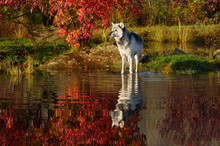 Gray Wolf Standing In Water At River Edge Surrounded By Fall Colors