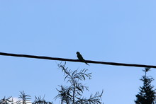 Birds Sit On Electric Wires Ag...