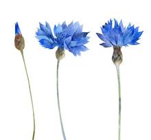 Watercolor Blue Cornflowers Is...