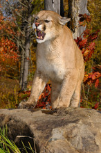 Hissing Cougar Standing On A Rock In An Open Fall Forest