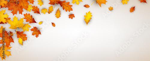 Fototapeta Autumn red oak and maple leaves. obraz