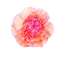 The Long Stem Carnations Gift On White