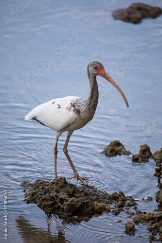 Fotografija White ibis on the shore of the canal - Florida wildlife