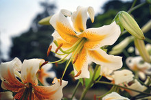 'Lady Alice' White And Yellow Lily In Bloom In The Summer Months