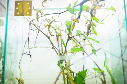 Stick insect Extatosoma tiaratum in zoo laboratory, close-up Fototapeta